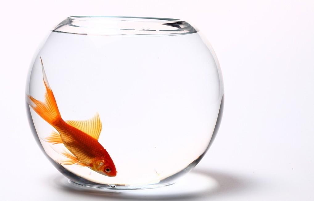 金鱼高清图片_素材图片